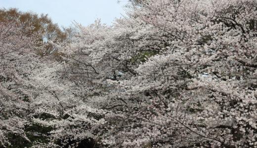 今年の春休みは花見日和🌸桜、ありがとう!