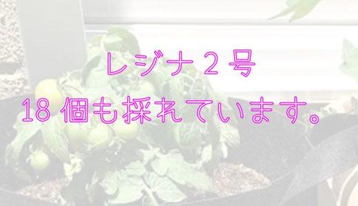 レジナ2号(ミニトマト)が18個も採れたよ!!(7/24現在)