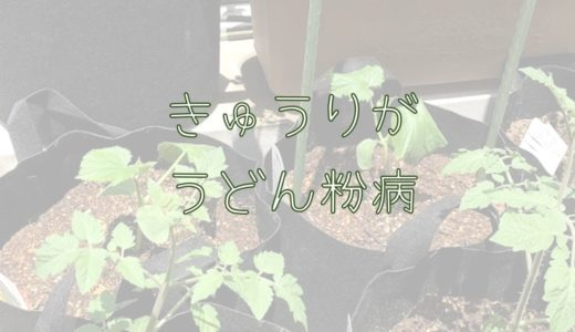 初めてきゅうり栽培①。葉の白い粉「うどんこ病」の原因。